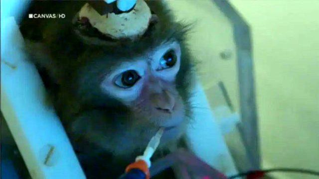 Bilim insanları, denek olarak kullandığı maymunların kafasını matkapla delip beton döküyor