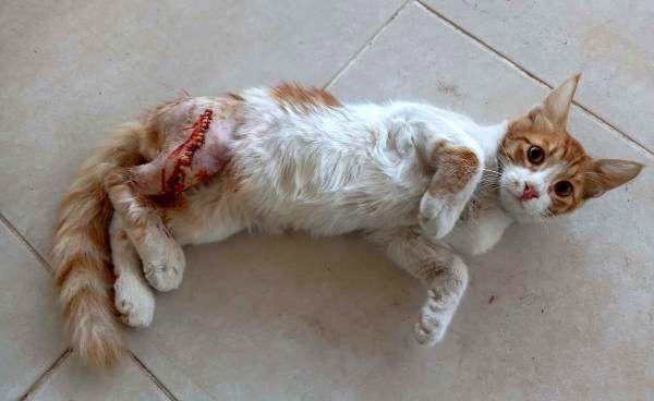 Bacağı iki yerden kırık sokak kedisine tedavi