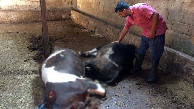 Elektrik akımına kapılan hayvanlar telef oldu, anne ve oğulları ölümden döndü