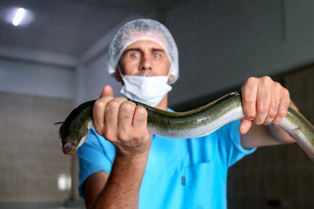 Hobi amaçlı tuttuğu yılan balıklarını ihraç etmeye başladı