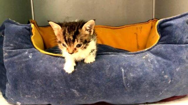 Türkiye'nin 2'nci down sendromlu kedisi Bayburt'ta