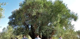 Tabiat Varlıklarını Koruma Kurulu: Manisa'da 1658 yıllık zeytin ağacı meyve verdi