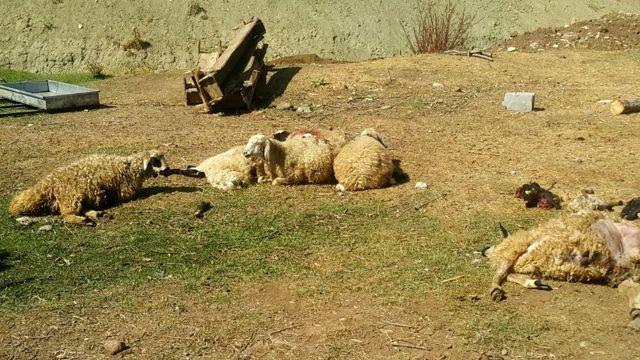 Ahıra giren boz ayılar, ailenin binbir emekle yetiştirdiği 70 koyunu telef  etti - Tunceli