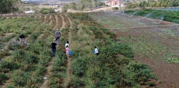 İstanbul'un köylerinde yapılan dalından satışa yoğun ilgi! Tarlalar dolup taşıyor