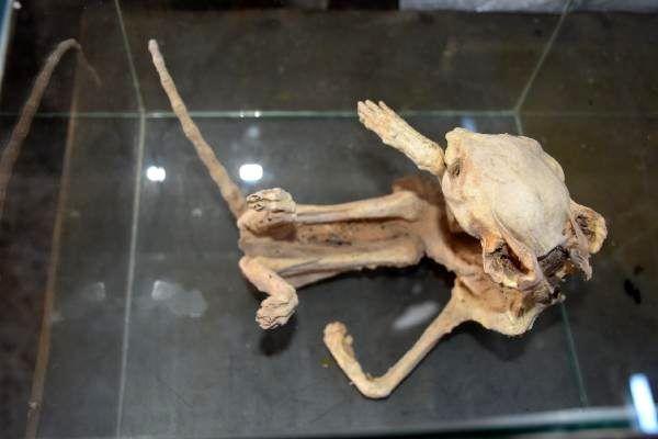 Türü belirlenemeyen hayvan iskeletini, camekan içerisinde sergiliyor
