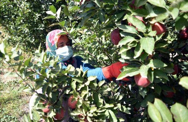 Yahyalı'da elma hasadı başladı