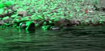 Munzur Çayı: Tunceli'de koruma altındaki su samurları görüntülendi