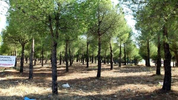 Burhaniye'de CHP'li belediyenin çam ağaçlarını keseceği iddialarına tepki