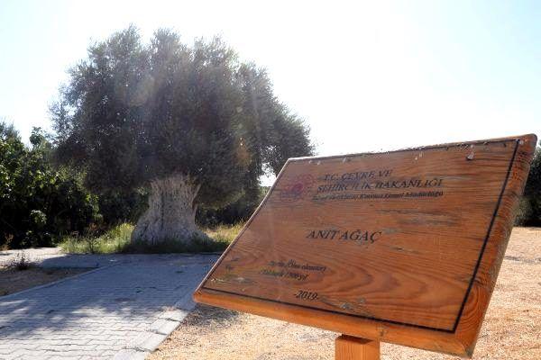 1300 yıllık zeytin ağacının ürünleri, Cumhurbaşkanı Erdoğan'a hediye  edilecek - Adana