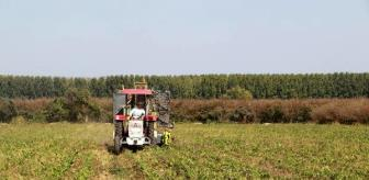 Çubuk: Samsun'da, 10 yıl sonra şeker pancarı hasadı başladı