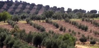 Kilis: Kilis'te zeytin rekoltesi çiftçinin yüzünü güldürecek