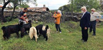 Kavaklıdere: - Büyükşehir'den 100 aileye 300 kıl keçisi