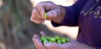 Atilla Engin: 4 Bin 500 yıllık zeytin geçmişi olan Kilis'te zeytinin dalından sofraya yolculuğu