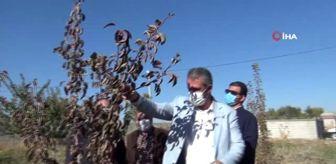 Ahlat: Armut ağacı ekim ayında çiçek açıp ikinci kez meyve verdi