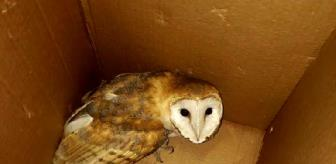 Aksaray: Yaralı bulunan peçeli baykuş tedaviye alındı