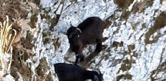 Muğla: Kayalıklarda mahsur kalan 3 keçi, halatla çekilerek kurtarıldı