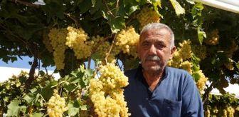 Ali İhsan: Sarıgöl'de üzeri örtülü bağlardaki üzümler, 3 ülkeye ihraç ediliyor