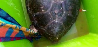 Bahattin Sürücü: Tedavisi yapılan caretta caretta Didim Altınkum'da denize bırakıldı