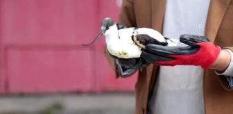 Göçmen Kuşlar: Kargaların saldırdığı 'bayağı kılıçgaga' kurtarıldı