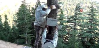 Mehmet Kara: Firari arıların Toros'lardaki yuvalarını buluyor, balın kilosunu 500 liradan satıyorlar