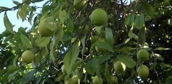 Adana: Yeni sezon turunçgil ihracatını limon sırtlıyor