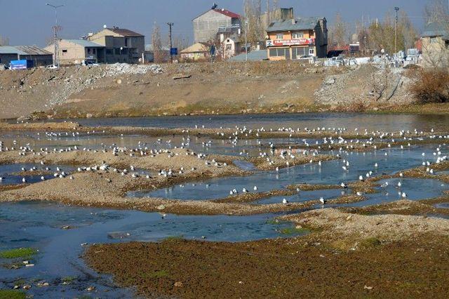 Göçmen martılar Murat Nehri'ni mesken tuttu