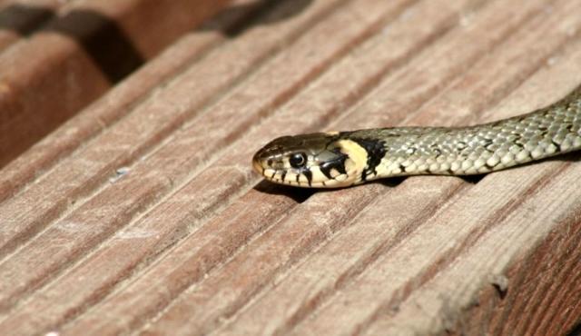 Rüyada yılan görmek ne anlama gelir? Rüyada yılan öldürmek, rüyada siyah yılan görmek ne anlama geliyor?