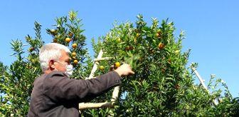 Adana: Herkes evinde, narenciye işçileri iş başında