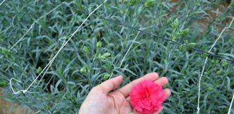 Antalya: Kesme çiçek ihracatı pandemiye meydan okuyor