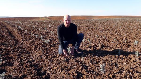 Kuraklığın yaşandığı Edirne'de, buğday ve ayçiçeği tarlalarına lavanta ekiliyor