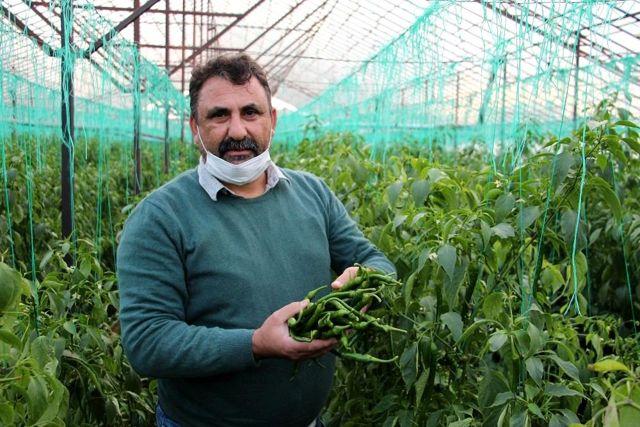 Yeşil biber fiyatındaki artış üreticiye göbek attırdı