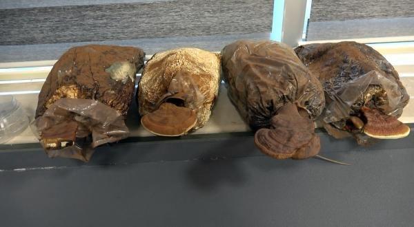 2 bin yıllık tarihi olan 'ölümsüzlük mantarı' Düzce'de üretildi