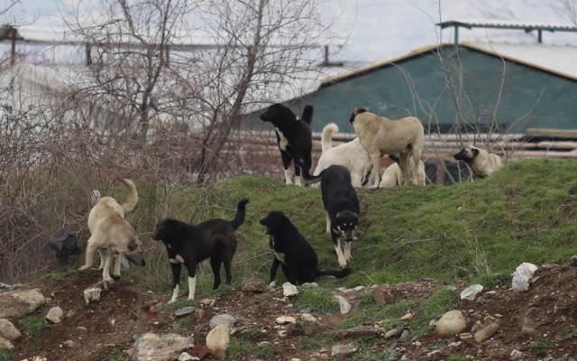 Aç kalan sokak köpekleri 280 damızlık kazı telef etti