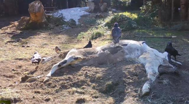 İneği yiyen ayı, kalanını toprağa gömdü, o anlar fotokapana yansıdı