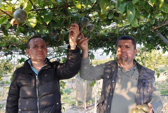 Antalya'da 20 dekar alana passiflora meyvesi eken çiftçi, 3 milyon lira kazanacak