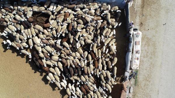 200 kuzunun anneleriyle buluşma anı, dronla görüntülendi