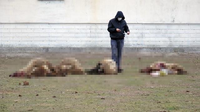 Arazide otlayan 29 koyun öldü! Çoban konuştu: Titreyerek yere yığıldılar, karınları şişip yarıldı