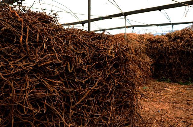 Doğadan toplattığı meyan köklerini çay haline getirip yurt dışına satıyor! Yıllık kazancı 1 milyon lira