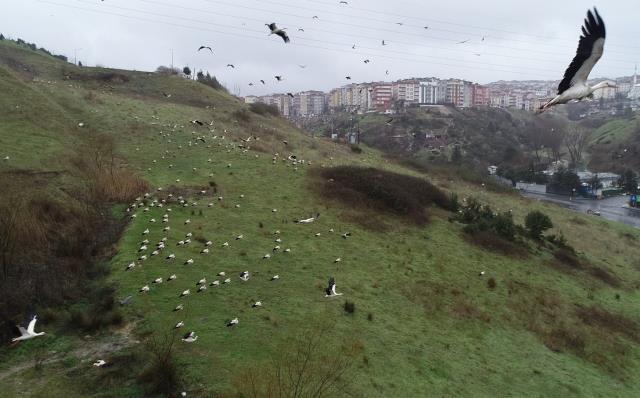 Baharın müjdecisi leylekler İstanbul'a akın etti