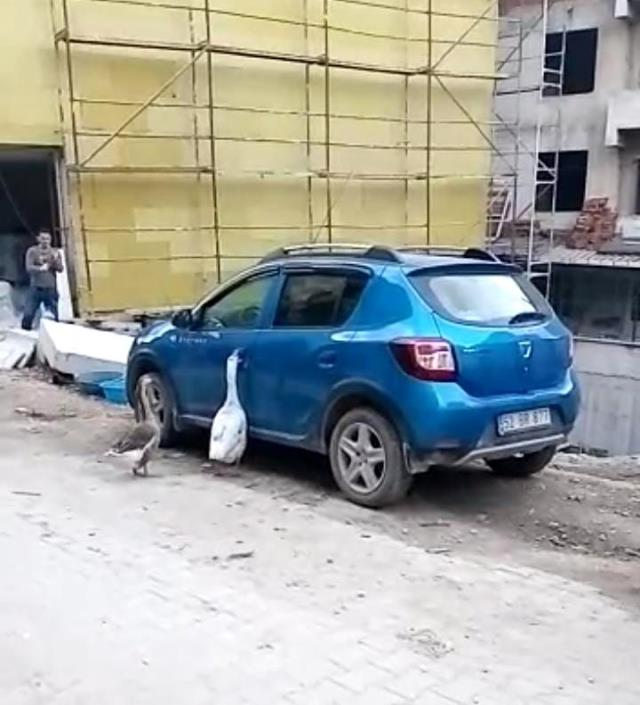 Otomobilin kapısını açmaya çalışan kazlar tebessüm ettirdi