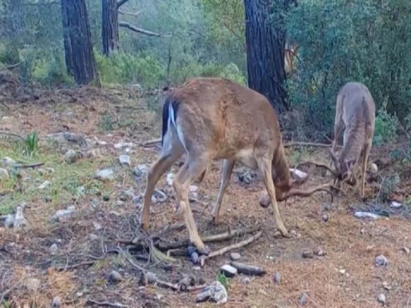 Dilek Yarımadası Milli Parkı'nda alageyik sayısı 10 yılda 2.5 kat arttı