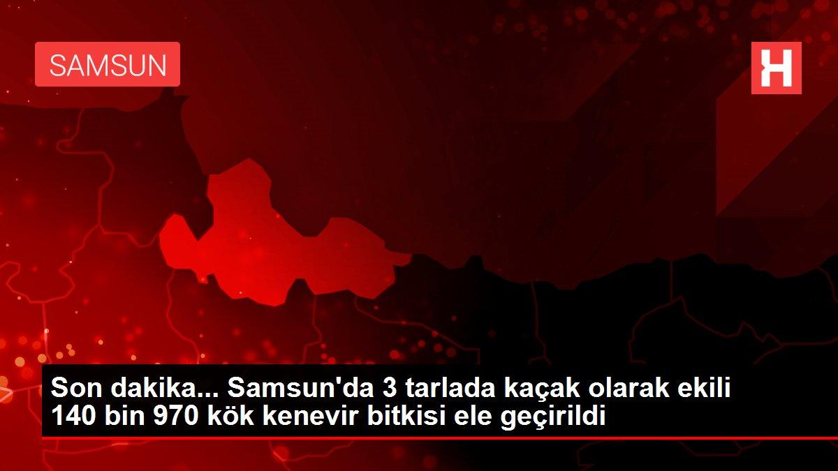 Son dakika... Samsun'da 3 tarlada kaçak olarak ekili 140 bin 970 kök kenevir bitkisi ele geçirildi