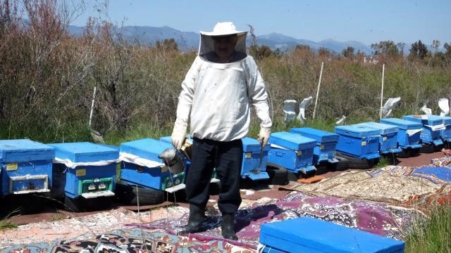 Balıkesir'de bal para yapınca arıların önüne halı serdiler