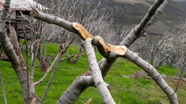 Ağaçları saldırıya uğrayan çiftçiler domuzlardan şüphelenmişti, zararın sorumlusu TEİŞ çıktı