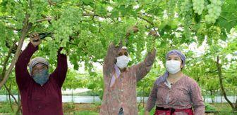 Rasim Şahin: Yılın ilk erkenci üzümleri tarlada kilosu 50 TL'den satıldı