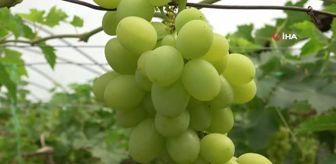 Rasim Şahin: Turfanda üzüm hasadı başladı