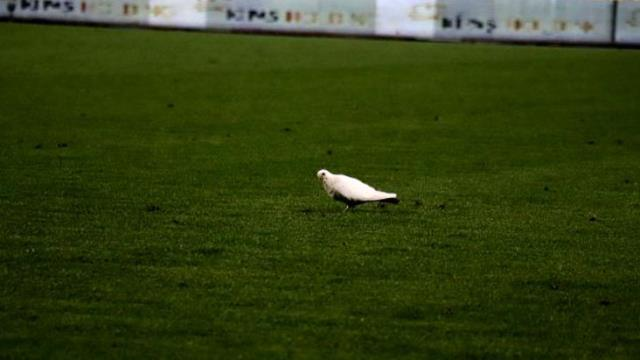 While the Denizli-Sivas match was being played, the white dove landed on the field, drank water and left the stadium.