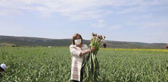 Araban: Fatma Şahin,  Araban sarımsağının başlayan hasatına katıldı