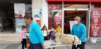 Çeşme Belediyesi: Isırılan sokak köpeği sedyeyle tedaviye götürüldü