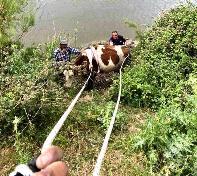 Son dakika... Nehre düşen ineği itfaiye kurtardı